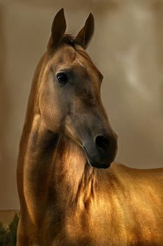 The gorgeous Akhal-Teke, a central asian equine treasure.