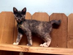 Darla is a Domestic Short Hair. She is a beautiful torti color.  She is very playful and full of energy. Darla is almost 3 months old. She would do great in a home with another friend to play with. http://www.petfinder.com/petdetail/24413763