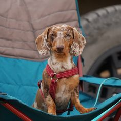 My Dachshunds aren't spoiled. They only get their own camp chair! If you have a Dachshund, a dog with a back, or a dog with an ACL injury, consider getting a chair that is low to the ground so they won't get hurt when they jump off. Acl, Camping Chairs, Camping Tips, Dachshunds, More Fun, Your Dog, Tent, Dogs, Camping Tricks