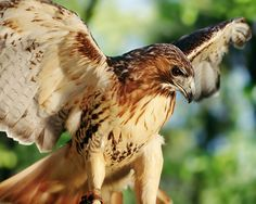 Honor as a red-tailed hawk in 'Nestling.'