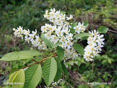 Prunus padus Pictures, Prunus padus Images | NaturePhoto