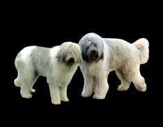 Mioritic Shepherd Dog Shepherd Dog, Dogs, Animals, Animales, Animaux, Pet Dogs, Doggies, Animal, Animais