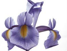 Iris lush
