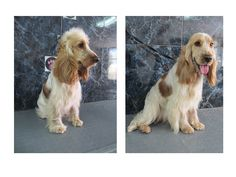 Lily the beautiful cocker spaniel defluffed and handstripped at the dog hut cheltenham.