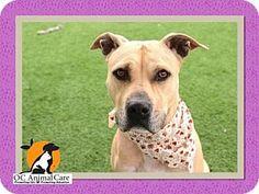 Orange, CA - Pit Bull Terrier. Meet GOLDIE, a dog for adoption. http://www.adoptapet.com/pet/17647828-orange-california-pit-bull-terrier