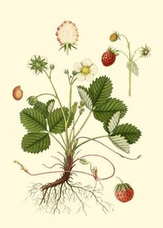 Wild Strawberry Antique Botanical print by PosterPlace Vintage Botanical Prints, Botanical Drawings, Motif Floral, Arte Floral, Botanical Flowers, Botanical Art, Nature Prints, Art Prints, Block Prints