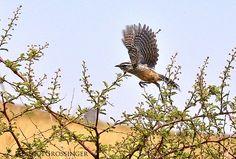 Cactus Wren Takes Off, via Flickr.