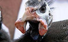 Especialista ensina como iniciar criação de galinhas d'angolas