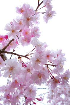 cherry blossom, double‐flowered