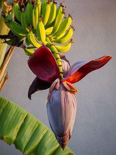 Banana Flower by Maria Sciandra Tropical Flowers, Tropical Art, Botanical Flowers, Tropical Plants, Botanical Prints, Hawaiian Plants, Unusual Flowers, Unusual Plants, Rare Flowers