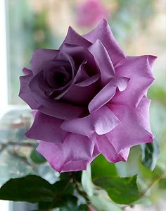 Bela Rosa 'The color purple' Beautiful Rose Flowers, Pretty Roses, Love Rose, Amazing Flowers, My Flower, Beautiful Flowers, Purple Flowers, Pink Roses, Photo Rose