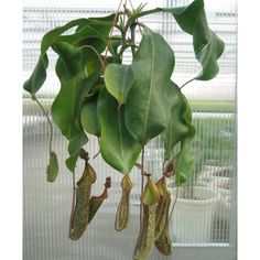Tropical Pitcher Plant 'Gentle' (Nepenthes hybrid)