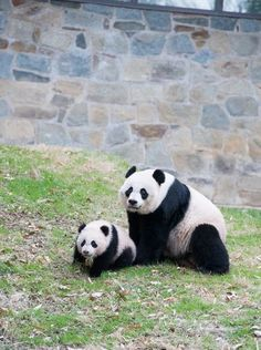 Our baby, Bao Bao, the Giant Panda cub, with her momma, Mei Xiang, at the National Zoo.