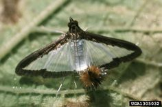 Melonworm (Diaphania hyalinata ) adult