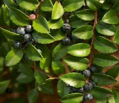 The Wild Garden: Hansen's Northwest Native Plant Database | Evergreen Huckleberry