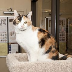 Hannah is an adoptable Calico Cat in Nashville, TN.  I am very young at heart and very friendly! Im even great with young kids even though I am a senior girl. If you come to see me at the Hermitage Pe...