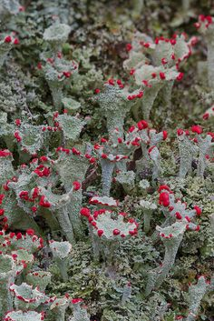 British Soldier Lichens