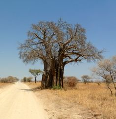 baobab in Tanzania Baobab Tree, In Ancient Times, Tree Of Life, Tanzania, Wonders Of The World, Bonsai, Tatoos, Scenery, Country Roads