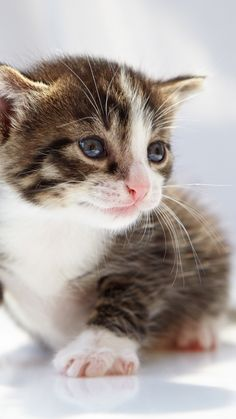 Kittens Cutest, Cats And Kittens, Cute Cats, Funny Cats, Cat App, Nine Lives, Catus, Funny Cat Pictures, Tapestry