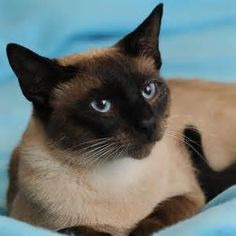 Traditional Siamese Cats - Bing Images