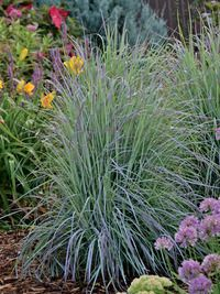 """New:Twilight Zone Grass An improvement over the native North American prairie grass Little Bluestem. Twilight Zone has a marvelous, shimmering blue-steel colour beginning in mid-summer. Will thrive in hot and dry locations, providing an upright columnar clump that is both tidy and narrow and at the same time, airy and light. 3"""" plug."""