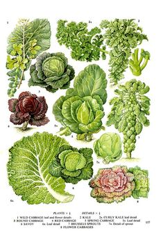 Cabbage Kale Savoy Brussel Sprouts Salad Vegetable Plant Flowers Food Chart Botanical Lithograph Illustration For Your Vintage Kitchen 157 - Modern Design Sprouts Salad, Brussel Sprout Salad, Brussels Sprouts, Botanical Drawings, Botanical Prints, Chou Kale, Vegetable Illustration, Food Charts, Planting Vegetables