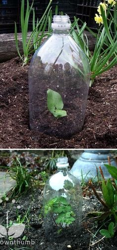 Mini greenhouses made from plastic bottles. A great way to get starters going in the ground.