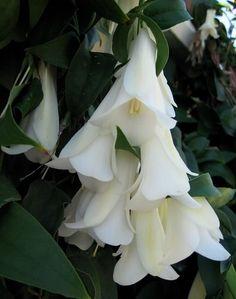 Lapageria rosea 'Alba' (Chilean Bellflower; white flowered cultivar)