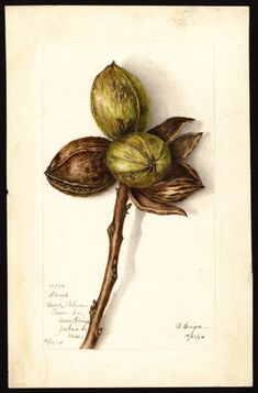 Artist:     Heiges, Bertha  Scientific name:     Carya illinoinensis  Common name:     pecans  Variety:     Stuart  Geographic origin:     Ocean Springs, Jackson County, Mississippi, United States  Physical description:     1 art original : col. ; 16 x 25 cm.  Specimen:     32578  Year:     1904  Date created:     1904-10-21