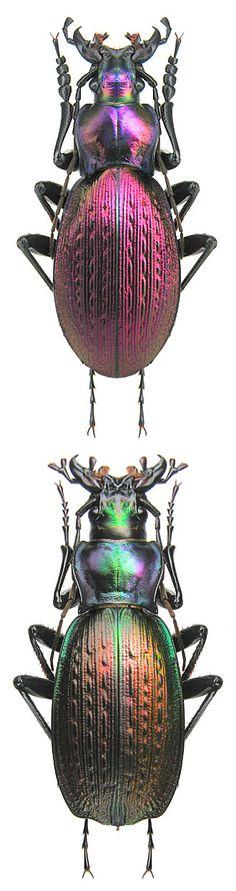 Carabus Neoplectes besleticus duripshensis