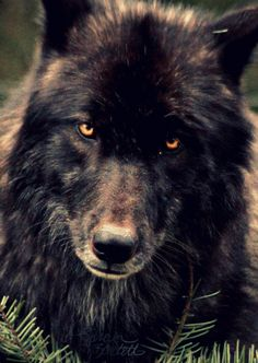 Big Bad Wolves! which really aren't bad at all - incredibly beautiful animals ...