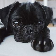 "Explore our web site for additional details on ""Black pugs"". It is actually a superb spot to find out more. Black Pug Puppies, Cute Pugs, Cute Dogs And Puppies, Pet Dogs, Pets, Baby Black Pug, Doggies, Pug Love, Cute Creatures"