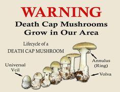 Mushroom warning, death cap warning, deadly toxic death cap mushroom