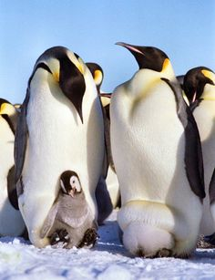 The Emperor Penguin is the tallest and heaviest of all living penguin species and is endemic to Antarctica. Penguin Craft, Penguin Love, Cute Penguins, Penguin Egg, Artic Animals, List Of Animals, Cute Animals, Penguin Animals, Georgia