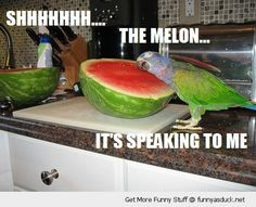 funny parakeet | bird parrot budgie talking water melon funny pics pictures pic picture ...