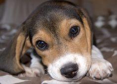 Abby the Beagle