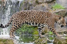 Jaguars and leopards look a lot alike, but they live in different hemispheres. Leopards live only in Africa and southern Asia, while jaguars live only in South and Central America.