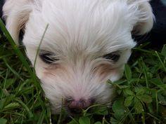 Malteser Welpe Malteser, Image, Reflex Camera, Puppys, Animales