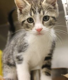 ADOPTED>Intake: 5/24 Available: 5/30 NAME: Buddy-Pal ANIMAL ID: 31701112-1109 BREED: DSH  SEX: Male  EST. AGE: 7 weeks  Est Weight: 1.11-1.15 lbs Health:  Temperament: Friendly ADDITIONAL INFO:  RESCUE PULL FEE: $35(each)