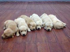 Golden babies <3