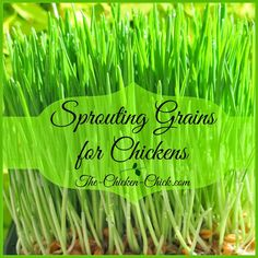 My flock enjoys the many benefits of free-ranging all year long, but in winter, their green, lush, nutritious plant supply is often buried underneath unreasonable amounts of snow, so I decided to experiment with supplementing their diet and their daily entertainment docket with sprouted grains. Sprouts are whole grains or seeds that are grown with water before being fed to the chickens. Sprouting grains is an easy way to provide chickens with fresh, nutritious greens any time of year with…