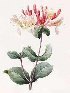 Lonicera Periclymenum (Honeysuckle) 1830 (watercolor & gouache on vellum), D'Orleans, Louise (1812-52)