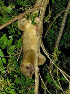Six Cute Animals Listed as Endangered Species ---- Kinkajou