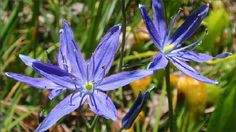 Do you avoid planting spring-flowering bulbs because your soil is moist clay and most bulbs require good drainage? Take heart! Camas, a beautiful blue-flowered bulb native to the northwestern U.S. thrives in damp conditions and even heavy clay.