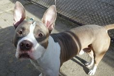 Manhattan Center LYCHEE – A1099545  MALE, BROWN / WHITE, PIT BULL MIX, 1 yr, 6 mos STRAY – STRAY WAIT, NO HOLD Reason STRAY Intake condition EXAM REQ Intake Date 12/13/2016, From NY 11233, DueOut Date 12/16/2016,