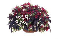 "Red Velvet Cake Basket - Recipe for a 12"" Sun basket: Sweet Caroline Raven Sweet Potato Vine Ipomoea batatas planted in the center; Supertunia Black Cherry Petunia hybrid and Supertunia White Russian Petunia hybrid. Alternate the petunias around the outside, 2 of each type."