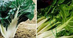 Vídeo: cómo sembrar y trasplantar acelgas