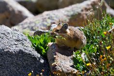 """Pikas are unique residents of the alpine ecosystem. Members of the order Lagomorpha, they are closely related to rabbits and hares. Pikas are diurnal and do not hibernate. They store their food in small piles of """"hay"""" under rocks in the rock slides and talus slopes that they live in.  Common Name: American Pika Specific Name: Ochotona princeps August 7, 2010 - Clear Creek County - Summit Lake, Mount Evans Wilderness"""