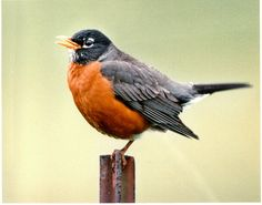 Not sure where I'd put it or what I want with it, but I love Robins! Michigan state bird, the Robin (*and first sign of Spring! Great Backyard Bird Count, Backyard Birds, Pretty Birds, Beautiful Birds, Simply Beautiful, Oregon, List Of Birds, American Robin, State Birds