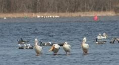 A quartet of pelicans on the Mississippi River near Hampton.